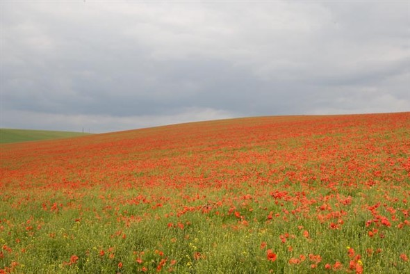 Photo: Illustrative image for the 'SOUTH DOWNS AT DENTON - POPPY FIELDS' page