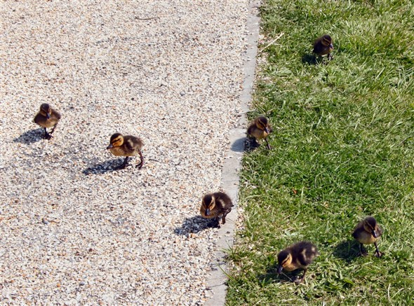 Photo:Very young ducklings. Fearless, or just way too tame already?