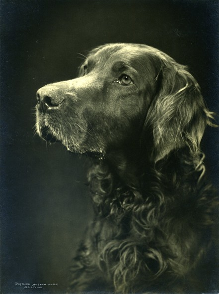 Photo:Shandy, Mrs Warnes' first Irish Setter. Portrait taken by Raymond Austen, Seaford, 1950s
