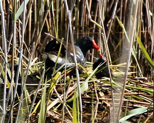 Photo:Moorhen and chick on a mid-pond nest