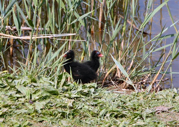 Photo:Two of the moorhen chicks